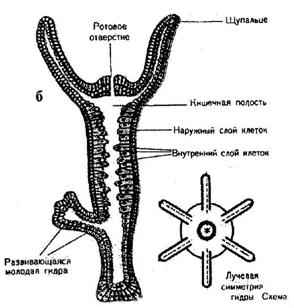 На внешнем слое клеток гидры